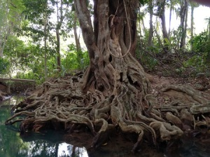 Amazing roots - Indian River