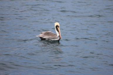 Pelican-1.jpg